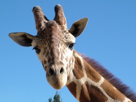 2018-07-24 ttm pixabay cc0 giraffe-803674_640