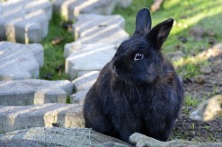 ttm-12-24-2018-pix-black-rabbit-3668317_640